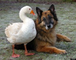 o-GERMAN-SHEPARD-AND-GOOSE-570